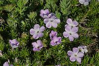 Spreading Phlox (Phlox diffusa) covered with early morning dew.  Olympic National Park.  Alpine-subalpine habitat.  June.