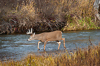 White-tailed Deer Buck (Odocoileus virginianus) in late fall wading stream.