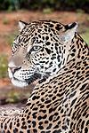 jaguar looking 45 degrees to camera medium shot, vertical