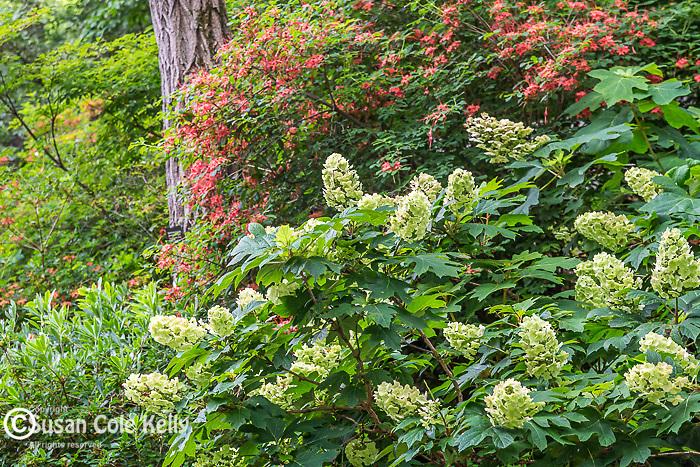 Hydrangeas and Plumleaf Azaleas at the Arnold Arboretum in Jamaica Plain, Boston, Massachusetts, USA