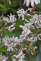 Rosa Sternmagnolie, Rosa Stern-Magnolie, Magnolie, Magnolien, Magnolienbaum, Magnolia, Kreuzung zwischen der Sternmagnolie (Magnolia stellata) und der Kobushi-Magnolie (Magnolia kobus)