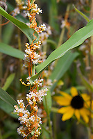 Common Dodder (Cuscuta gronovii), a parasitic vine entwining Smooth Aster (Aster laevis) in a prairie. In bloom. Also known as Love Vine and Scaldweed. Franklin County, Ohio, USA.