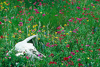Weathered cow skull in wildflower meadow. western scene, flowers, contrast; life and death. Texas.