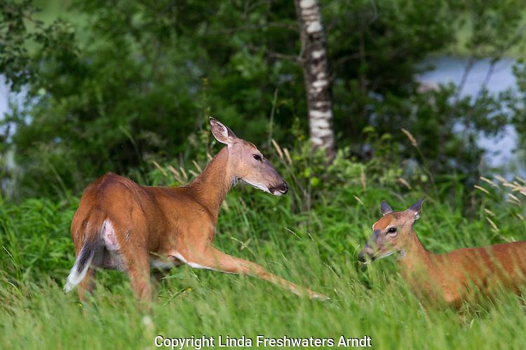 White-tailed doe chasing away yearling