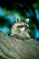 Cute Raccoon, Pyron locomotor, sitting on tree watching with interest