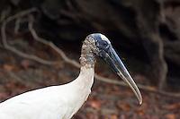 Wood Stork, Lago Petexbatun, Guatemala