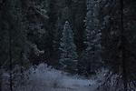 Ponderosa pine forest, winter, ice fog, Okanogan County, Eastern Washington, Washington State,