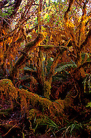 Maui Hana rainforest scenic home to many endangered forest birds. Sunrise in the rain forest. Moss covered trees in the rainforest