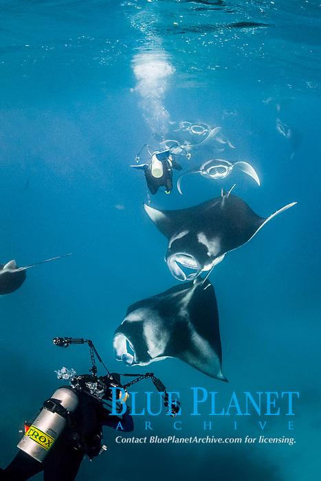 scuba divers photographing train of chain-feeding reef manta rays, Mobula alfredi, feeding on plankton, Hanifaru Bay, Baa Atoll, Maldives, Indian Ocean