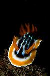 Magnificent Chromodoris nudibranch, Chromodoris magnifica, Lembeh Strait, Bitung, Manado, North Sulawesi, Indonesia, Pacific Ocean