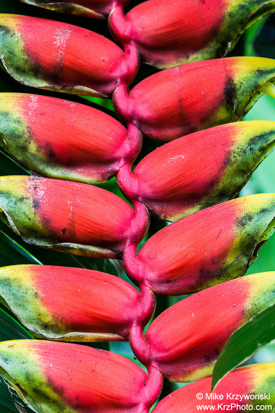 Close-up of Heliconia rostrata (also known as hanging lobster claw or false bird of paradise)