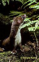 MA21-060z   Long-Tailed Weasel - summer brown coat - Mustela frenata