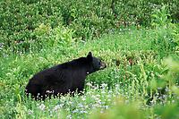 American black bear (Ursus americanus) sniffing the air in subalpine meadow, Paradise, Mount Rainier National Park, Pierce County, Washington, USA