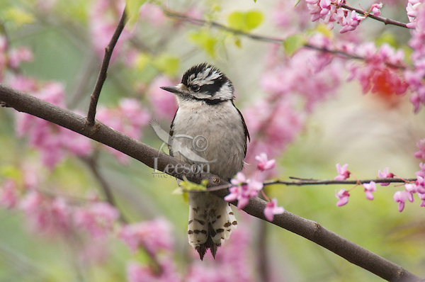 Female Downy Woodpecker (Picoides pubescens). Great Lakes Region. Spring.