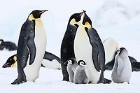 Snow Hill Island, Antarctica. Emperor penguin adults and chicks huddle and minus 20 degrees.