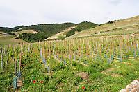 vineyard cornas rhone france