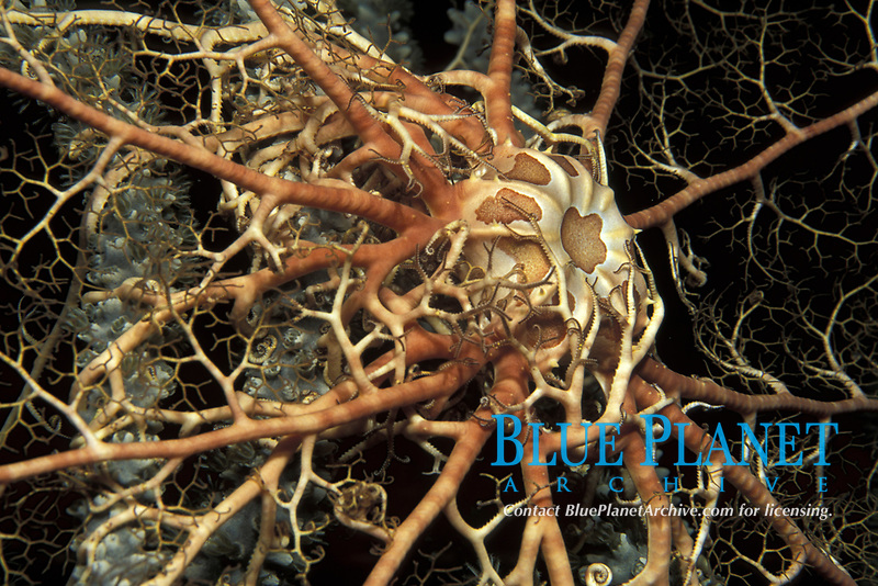 giant basket star, Astrophytonh muricatum, Bahamas