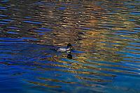 A beautiful loon swimming on Patricia Lake in Jasper National Park Alberta Canada