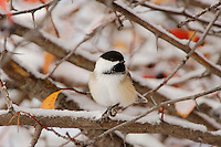 Black-capped Chickadee, Poecile atricapilla, adult in snow fallcolors, Grand Teton NP,Wyoming, September 2005