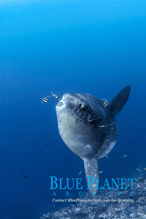 mola mola or ocean sunfish hangs suspended for cleaning at Crystal Bay, Nusa Penida, near Bali, Indonesia