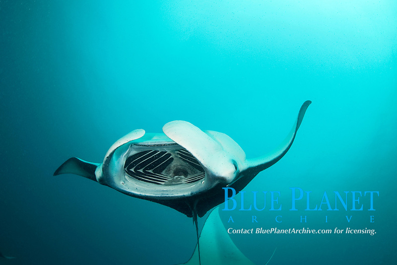 reef manta ray, Mobula alfredi, barrel-roll feeding on plankton, Hanifaru Bay, Hanifaru Lagoon, Baa Atoll, Maldives, Indian Ocean