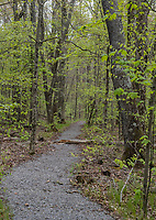 Cranberry Mountain, West Virginia. Spring Foliage along Nature Trail.