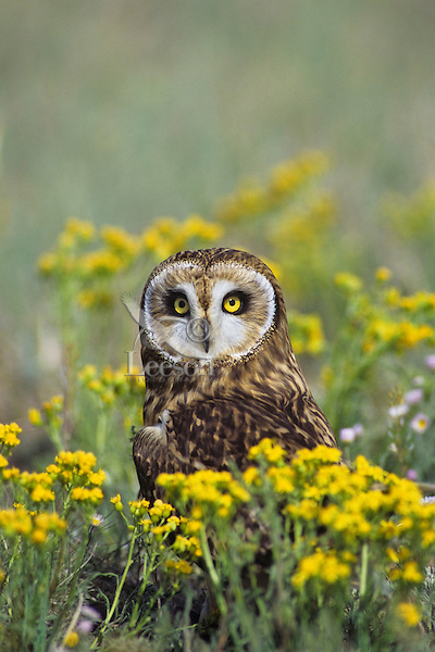 Short-eared Owl (Asio flammeus) among wildflowers, Western U.S., spring.