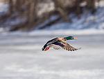 Mallard duck in flight in winter.