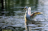 DG13-029x  Pekin Duck - adult duck splashing and swimming in pond