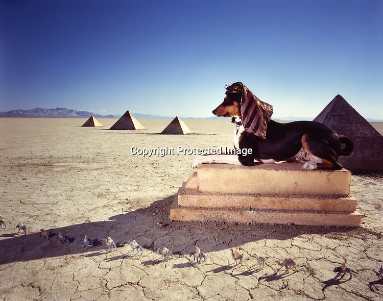 An Egyptian dog (Basenji) watching over the pyramids in Black Rock Desert, Nevada.