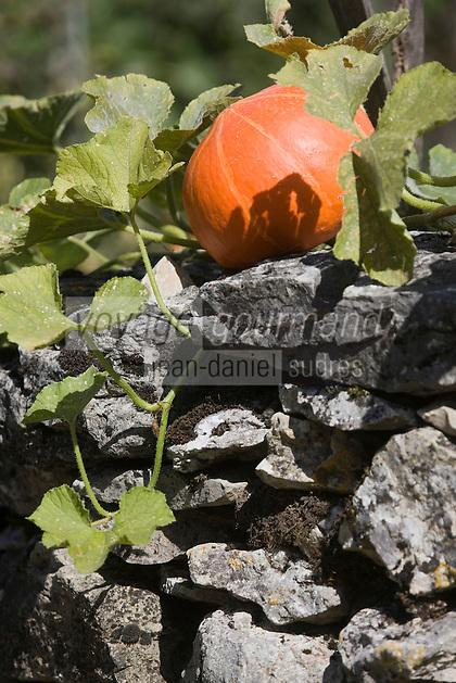 Europe/France/Midi-Pyrénées/46/Lot/ Quissac: Citrouille sur le muret en pierre sèche d'un potager