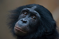 Young bonobo