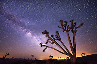 A large joshua tree frames the summer constellation of the Milky Way, photographed in the wilderness of Death Valley. <br /> <br /> 16x24 MetalPrint<br /> List Price: $279<br /> Sale Price: $159<br /> You Save: $120 (43%)<br /> Items in Stock: 1