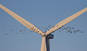 25/01/17<br />  <br /> A sequence of incredible photos taken by Rod Kirkpatrick show a flock of Lapwings, which are on the RSPB's endangered list, narrowly avoiding being hit by the giant swirling blades of a wind turbine near Burton Latimer, Northamptonshire this afternoon.<br /> <br /> All Rights Reserved F Stop Press Ltd. (0)1773 550665 www.fstoppress.com