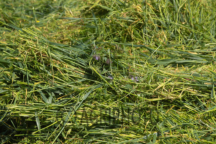 1.6-2021 Whole crop silage<br /> ©Tim Scrivener Photographer 07850 303986<br />      ....Covering Agriculture In The UK....