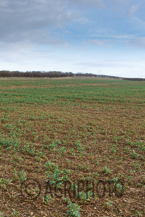16-3-2021 Struggling oilseed rape plants due to flea beetle damage.<br /> ©Tim Scrivener Photographer 07850 303986<br />      ....Covering Agriculture In The UK....