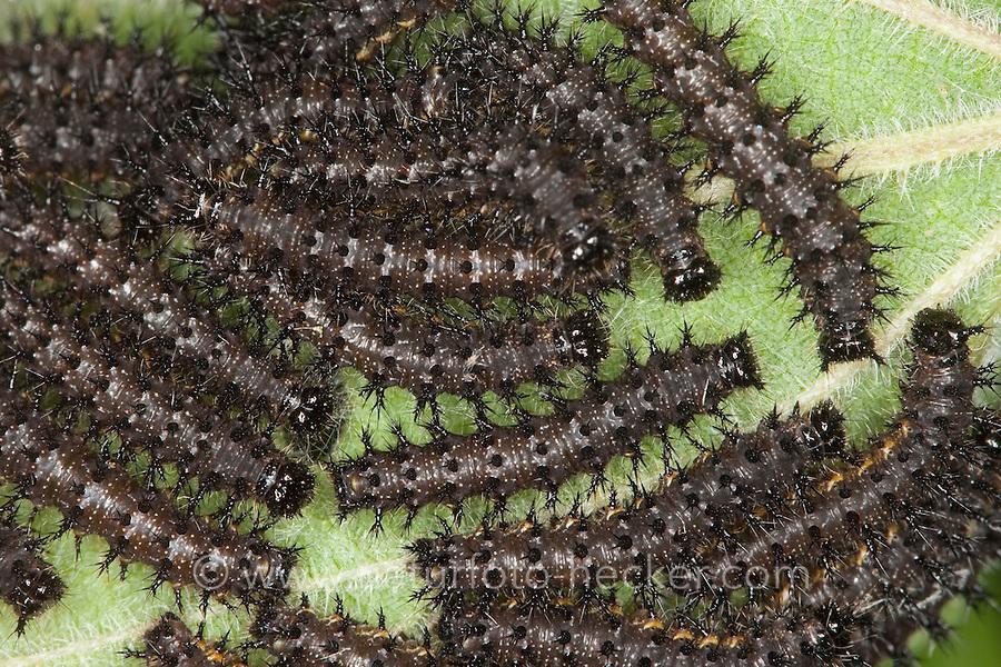 Tagpfauenauge, Tag-Pfauenauge, Aglais io, Inachis io, Nymphalis io, Raupen, Raupe fressen an Brennnessel, peacock moth, peacock
