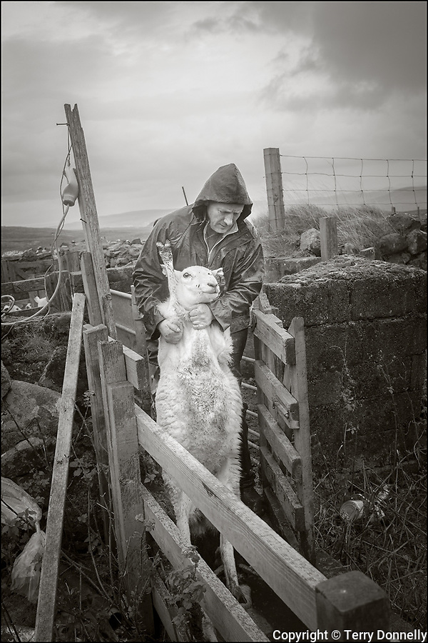 "Isle of Skye, Scotland:<br /> Crofters Calum and James MacDonald herding sheep for the annual ""sheep dip"" with sheep dog Pip. Under the Quiraing mountains."
