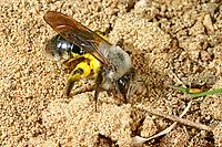 Weiden-Sandbiene, Auen-Sandbiene, Auensandbiene, Weidensandbiene, Sandbiene, Sandbienen, Andrena vaga, Andrena ovina, Grey-Backed Mining-Bee