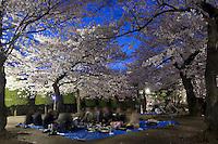 Night Cherry Blossom Party, under the flowering sakura trees in Matsumoto.