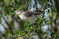 Northern Mockingbird (Mimus polyglottos), a common and wide-ranging mimid native to North America. The state bird of Arkansas, Florida, Mississippi, Tennessee, and Texas. Lower Rio Grande Valley, Texas, USA.