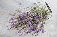 Echter Lavendel, Schmalblättriger Lavendel, Ernte, trocknen, Blüten, Lavandula angustifolia, Lavandula officinalis, Lavandula vera, Lavender, common lavender, true lavender, narrow-leaved lavender, La Lavande officinale, Lavande vraie, Lavande à feuilles étroites