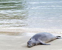 A Hawaiian monk seal rests on the shore of Ke'e Beach, northern Kaua'i.