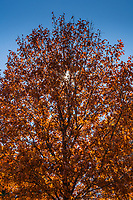 Fall colors backlit with sunburst.