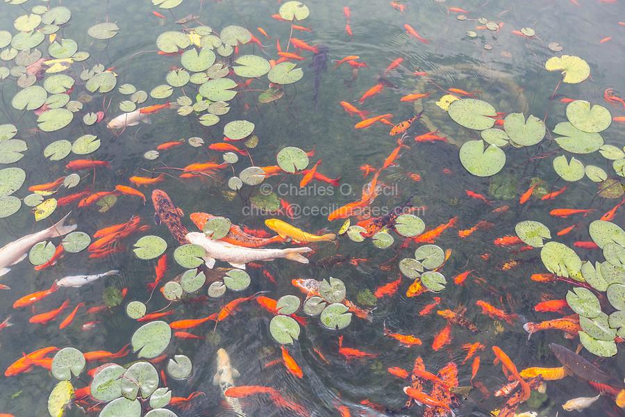 Suzhou, Jiangsu, China.  Koi (Carp) in Courtyard Pool of the Suzhou Museum.