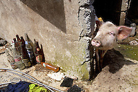 Philippines. Province Eastern Samar. Hernani. A pig and left over glass botthes, Coca Cola, Miranda and Red Horse beers. 95 % of the town was destroyed by typhoon Haiyan's winds and storm surge. Typhoon Haiyan, known as Typhoon Yolanda in the Philippines, was an exceptionally powerful tropical cyclone that devastated the Philippines. Haiyan is also the strongest storm recorded at landfall in terms of wind speed. Typhoon Haiyan's casualties and destructions occured during a powerful storm surge, an offshore rise of water associated with a low pressure weather system. Storm surges are caused primarily by high winds pushing on the ocean's surface. The wind causes the water to pile up higher than the ordinary sea level. 26.11.13 © 2013 Didier Ruef