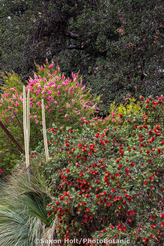 Callistemon 'Little John' Dwarf bottlebrush flowering shrub in Los Angeles Botanic Garden with Xanthorrhoea quadrangulata and Callistemon 'Perth Pink'