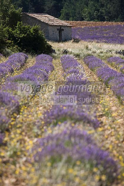 Europe/France/Provence-Alpes-Côte d'Azur/84/Vaucluse/ Env de Sault: Champ de Lavande du plateau de Sault