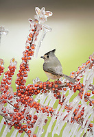 Tufted titmouse (Baeolophus bicolor), adult perched on icy branch of yaupon holly or cassina (Ilex vomitoria) with berries, Hill Country, Texas, USA, North America