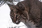 bobcat sitting in pine tree, close-up of face